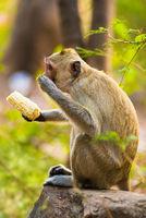 monkey eats corn sitting on stone