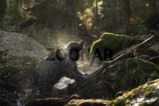 shake, rattle and roll... Europäischer Braunbär *Ursus arctos*