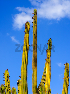 Säulenkakteen isoliert vor blauem Himmel