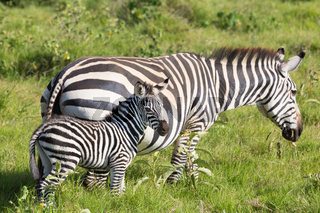 Mother and foal zebra, Equus quagga.