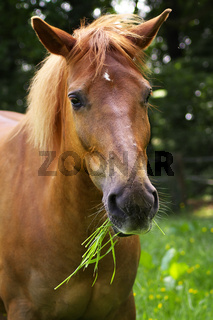 Quarter-Haflinger Mix