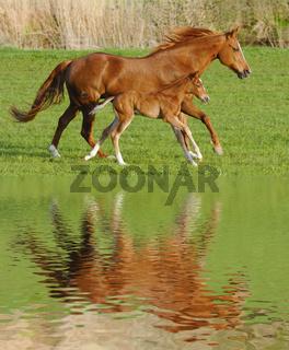 Stute und Fohlen in perfektem Galopp mit Spiegelung im See