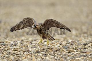 junger Wanderfalke... Wanderfalke *Falco peregrinus*