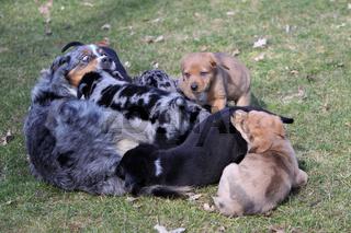 Hunde-Welpen