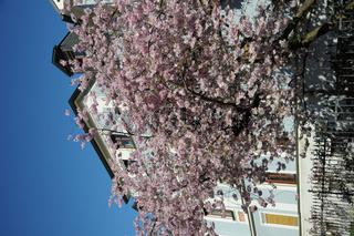 Prunus subhirtella Accolade, Frühe Zierkirsche, Flowering cherry
