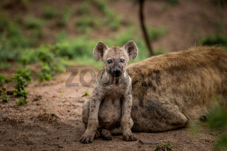 Starring Spotted hyena cub in the Kruger National Park, South Africa.