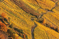 Weingberg im Herbstlaub an der Mosel