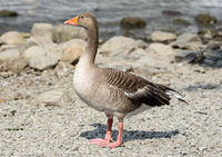 Greylag Goose by a Lake