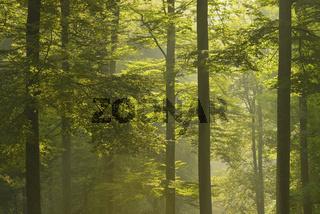Wald im Morgennebel, Deutschland
