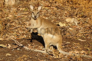 Wallaby, Australien