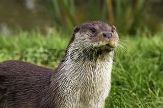 European Otter (Lutra lutra) UK