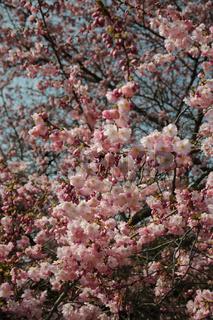 Prunus subhirtella Accolade, Zierkirsche, Flowering cherry