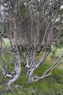 Bäume auf Island