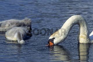 Hoeckerschwan Weibchen mit Jungvoegeln sucht Nahrung auf einem See / Mute Swan female bird with young birds foraging on a lake - (White Swan) / Cygnus olor