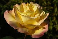 Rose - Gloria dei