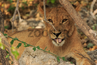 Cute lion cub playing with stick and being adorable. Uncultivated in the wild Botswana