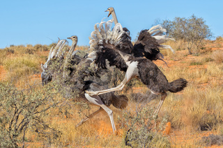 ostriches fighting
