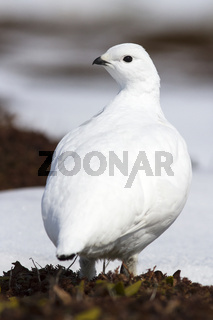 female Rock ptarmigan that is in the spring tundra