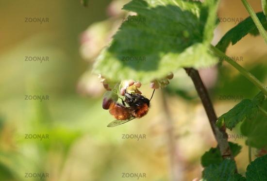 wildbiene an  stachelbeerblüte
