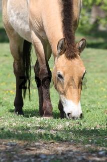 Przewalski-Pferd auf der Weide