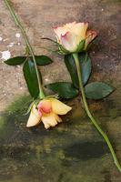 zwei Rosen auf verwittertem Hintergrund aus Holz