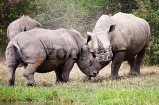 rhinos fight at kruger