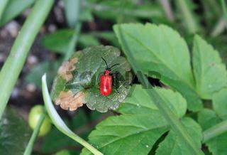 Lilienfresser, roter Käfer im Grünen