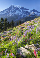 Mount Rainier Wildlflowers