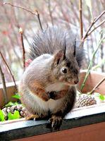 Eichhörnchen im Balkonkasten