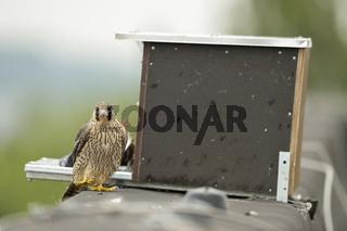 Nisthilfe... Wanderfalke *Falco peregrinus*
