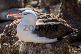 Black-browed albatross squawks while sitting on nest