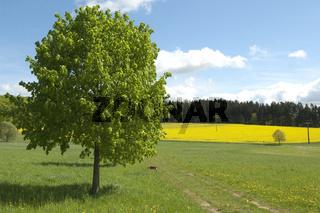 Rapsfeld, fruehling