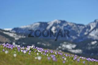 Fruehlingsboten im Gebirge