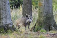 Wildschwein im Wald, Deutschland