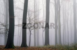 Buchenwald im Nebel / Kreis Rendsburg Eckernfoerde - Schleswig-Holstein