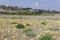 Cucurbita maxima, Kuerbisfeld mit Riesenkuerbisse, Gozo, Malta