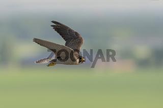 hoch in der Luft... Wanderfalke *Falco peregrinus*