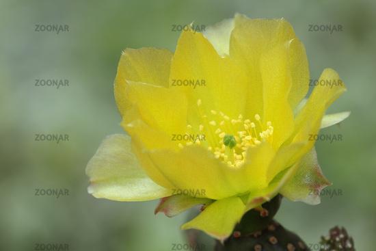 Opuntie (Opuntia)