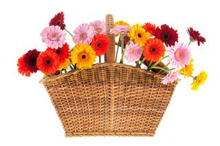 Wicker full with Gerber flowers