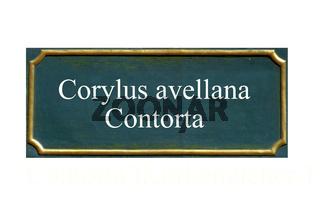 schild Corylus avellana Contorta, Korkenzieher-Hasel