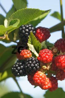 Rubus fruticosus Chester Thornless, Brombeere