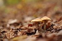 Pilze zwischen Blättern im Wald