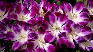 Violet tulips background.Macro shot.