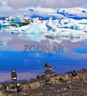 Polar birds on the shore of the ocean lagoon