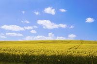 Gelbe Rapsfelder in der Sonne mit blauem Himmel und Wolken als eye-catcher in laendlichem Gebiet