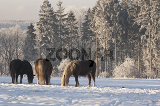 Pferde im Winter