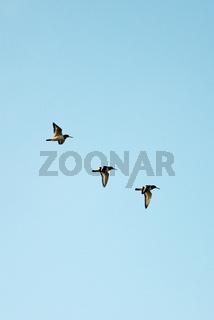 Oyster Catchers in flight