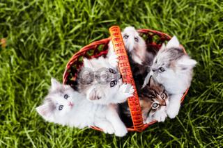 Kittens in the basket
