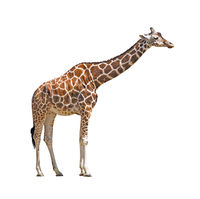 Young female giraffe cutout