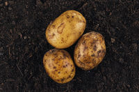 fresh potatoes on the soil background